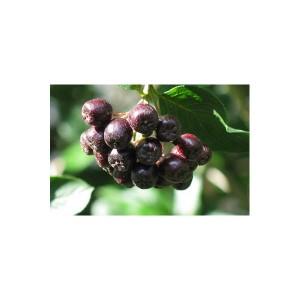 5 buc, arbusti de aronia, 30-40 cm inaltime